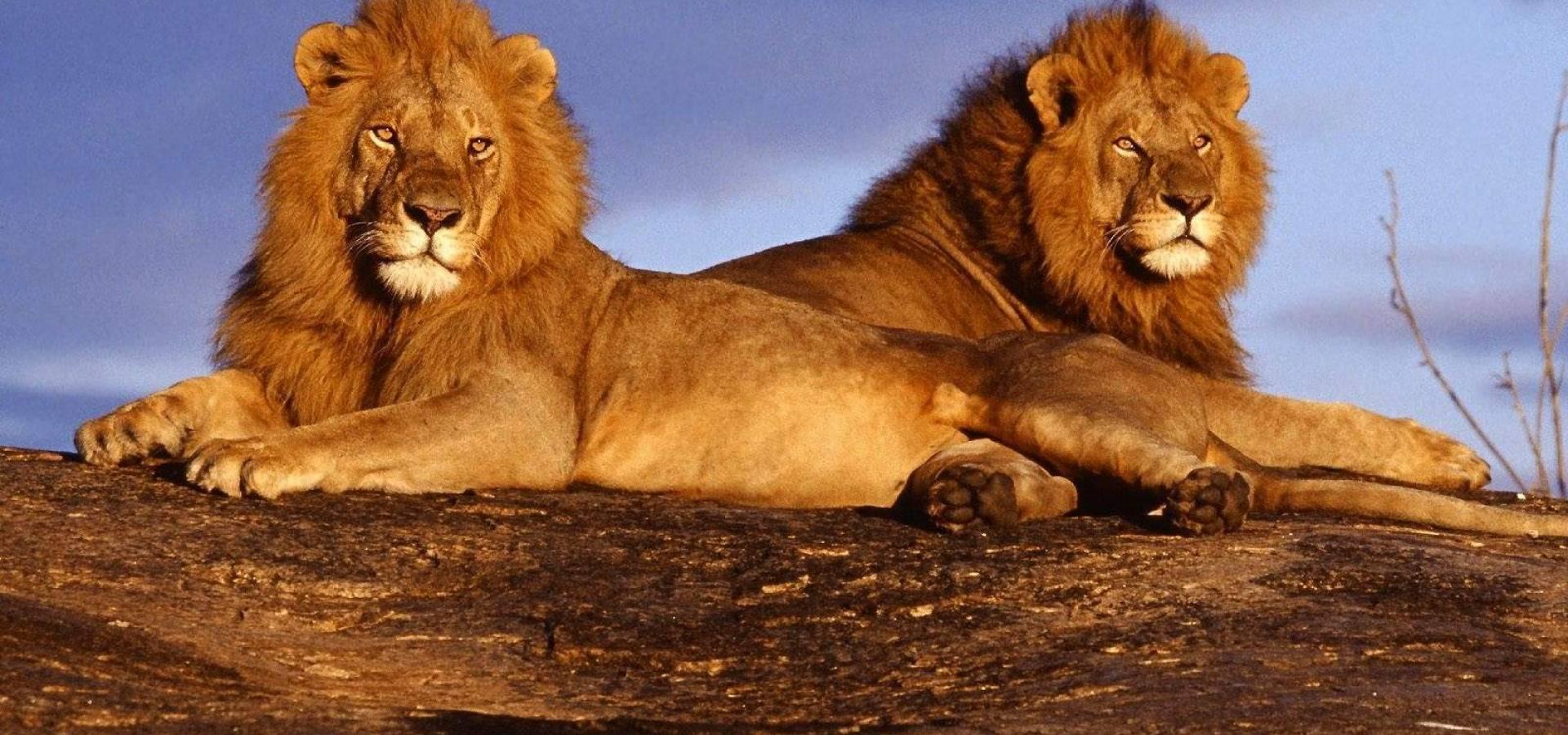 Leones en Maasai Mara