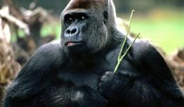 El Reino de los Gorilas