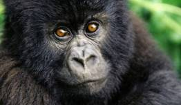 Gorilas + Lo Mejor de Ruanda