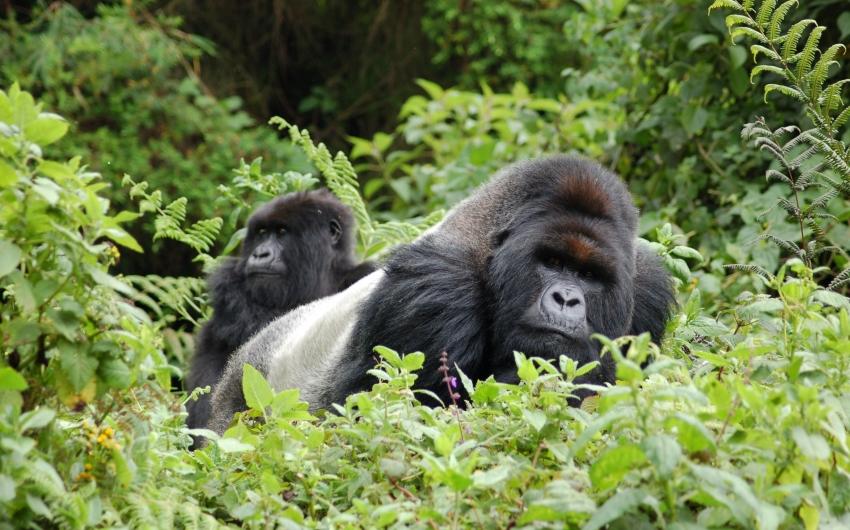 Uganda - Safari Gorilas Twiga