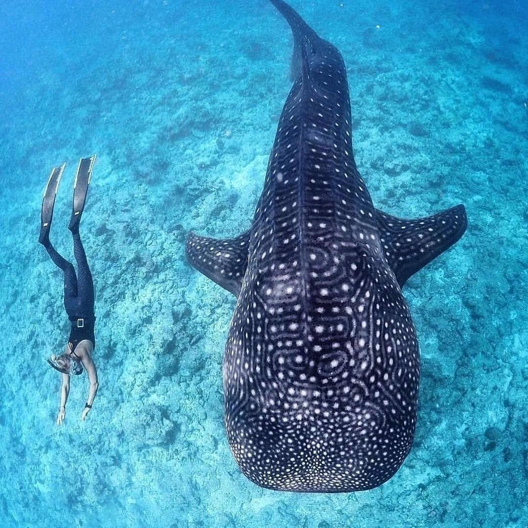 Nadando con tiburón ballena - Puerto Princesa