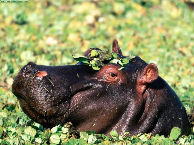 Hipopotamo