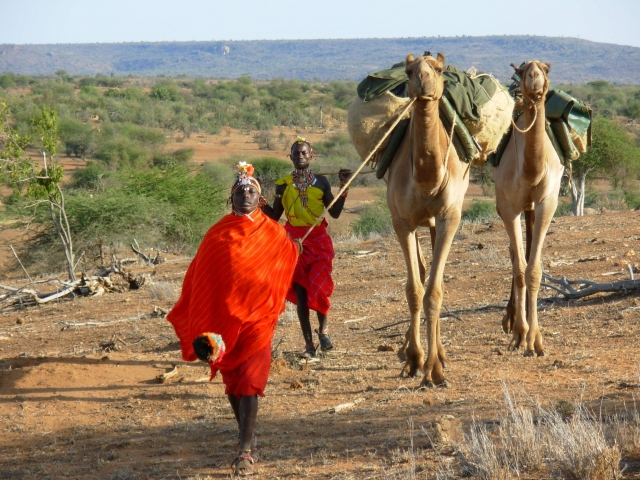Tribu samburu con sus camellos