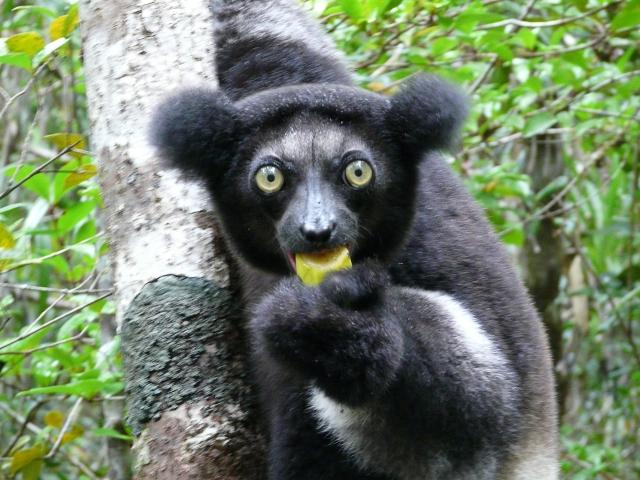Lemur Indri Indri
