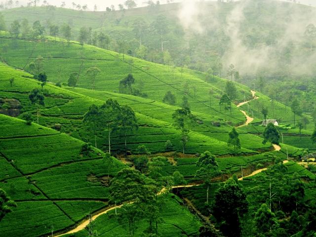 plantacion de té